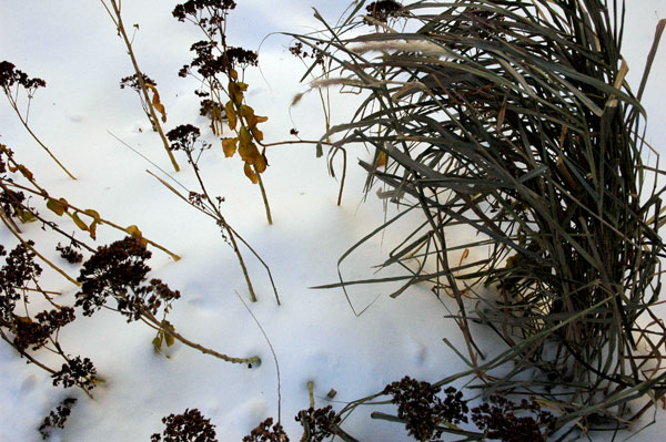 lines_plants_and_grasses_in_the_snow.jpg