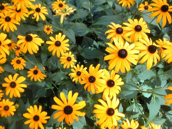 brown-eyedsusans.jpg
