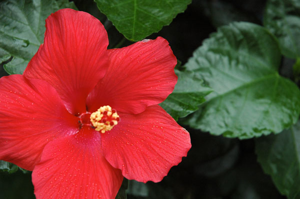 hibiscus_red.jpg