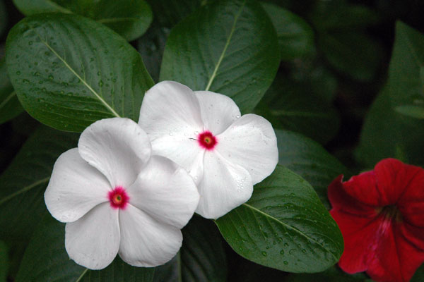 impatiens_white-crimson.jpg