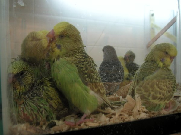 parakeetchicks.jpg