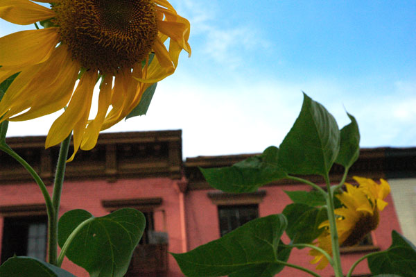 sunflowers_Horatio_Street.jpg