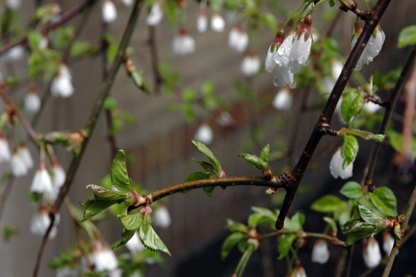 weeping_cherry_blossoms.jpg